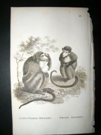 Shaw C1810 Antique Print. Long Nosed & Prude Monkey